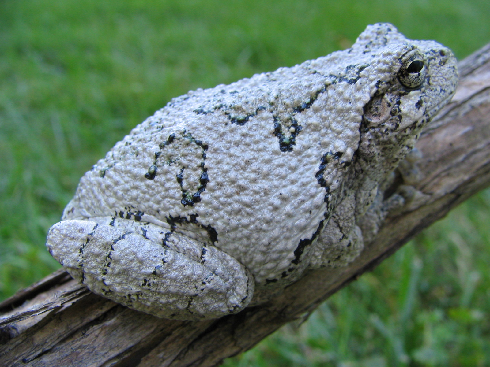 Gray tree frog - photo#1