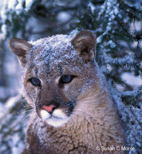 Cougar057_Frosted faced Tom_W CREDIT