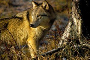wolf2_cnvrtd4web_0