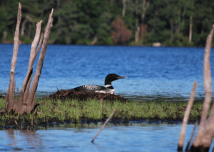 Photo of a loon on an island